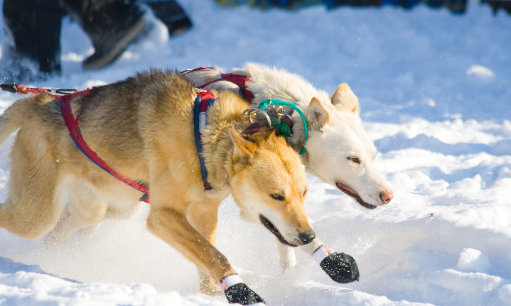 Two lead dogs starting the Iditarod in 2007