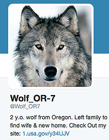 Wolf OR-7 on Twitter